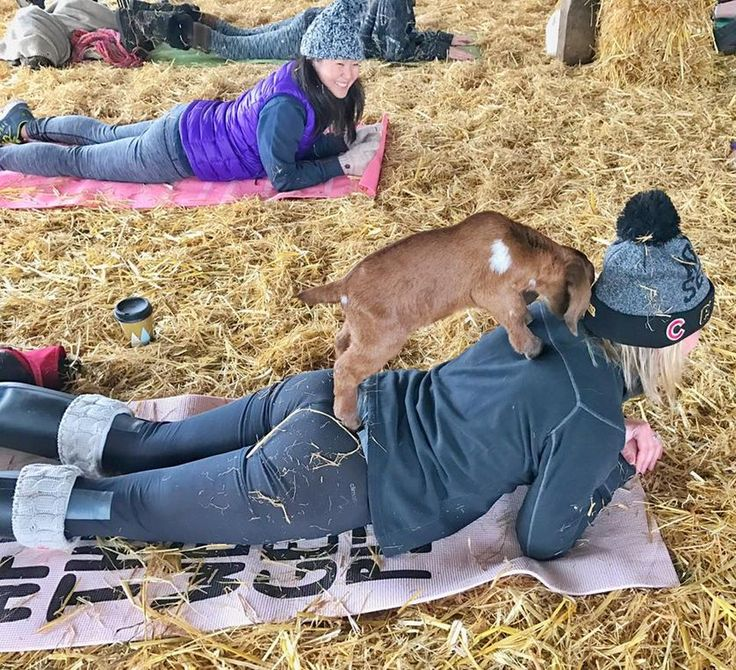 goat on woman's back as she does yoga