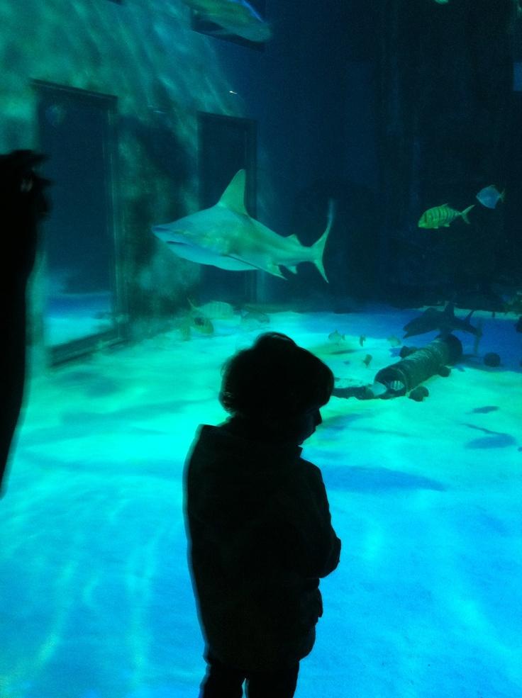 shy of sharks ... at London Acquarium