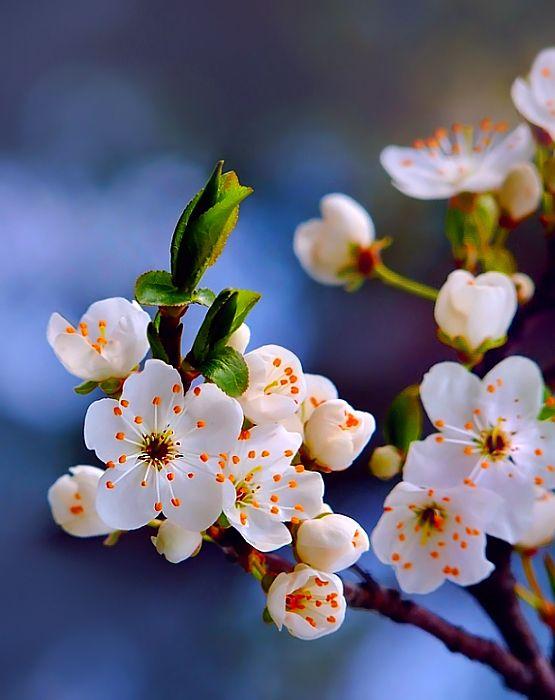 ~~spring:. by ~efeline - prunus domestica flowers~~
