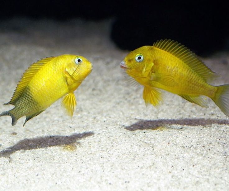 Pin by sherrie on dope cichlids pinterest best for Lake tanganyika fish