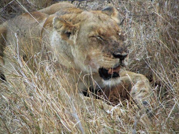 www.sunsafaris.com #nthambo #tree #camp #africa #klaserie #safari #lioness #wildlife