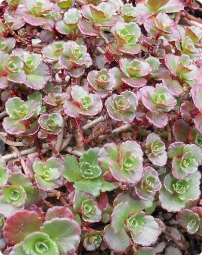 Sedum spurium 'Bronze Carpet'