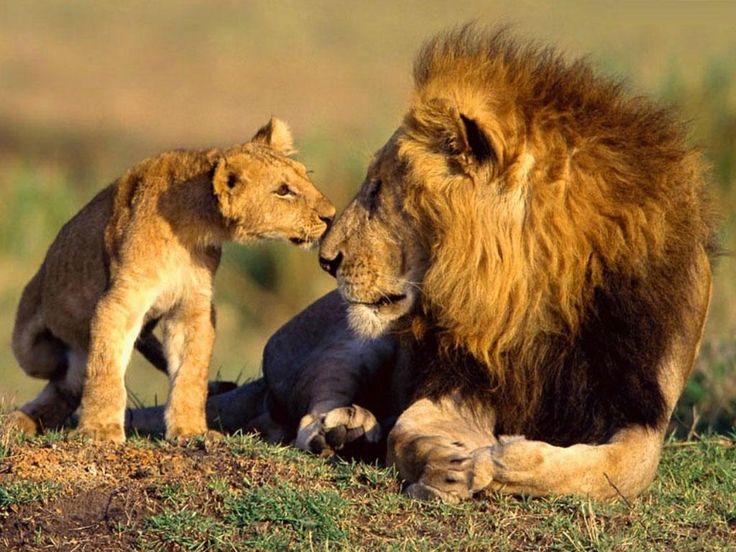 Butterfkiy kisses again :)  Wildlife Animals Photos at Wildlife Animal Planet : Lion