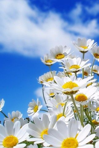 Daisies with a brilliant blue sky in the background.