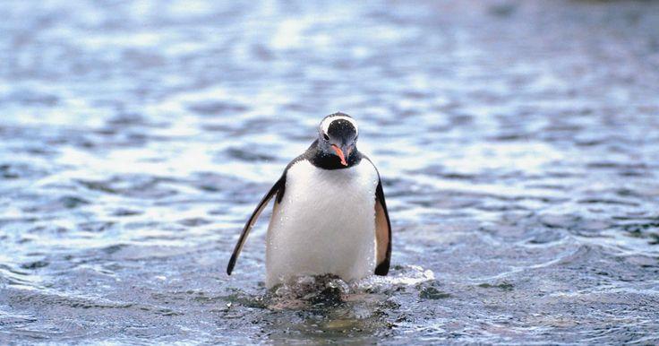 Características de pinguinos. Aunque los primeros exploradores antárticos clasificaron a los pingüinos como peces, los pingüinos son aves marinas que no pueden volar y que viven alrededor de la Antártida y otras regiones subantárticas y templadas del Hemisferio Sur. Hay 17 especies de pingüinos. La más grande de ellas, el pingüino emperador, puede alcanzar hasta 40 pulgadas ...