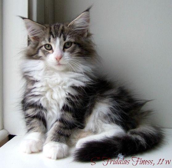 Norwegian Forest Cat (Norsk skogkatt)