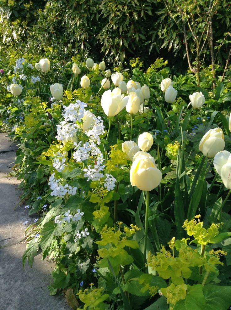 Candid Tulipa, Lunaria annua var. albiflora and acid-green Bupleurum in the Long Border, Great Dixter, UK