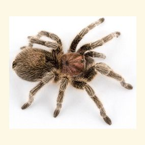 Pinning for Justin!  how to care for a  Chilean Rose Hair Tarantula