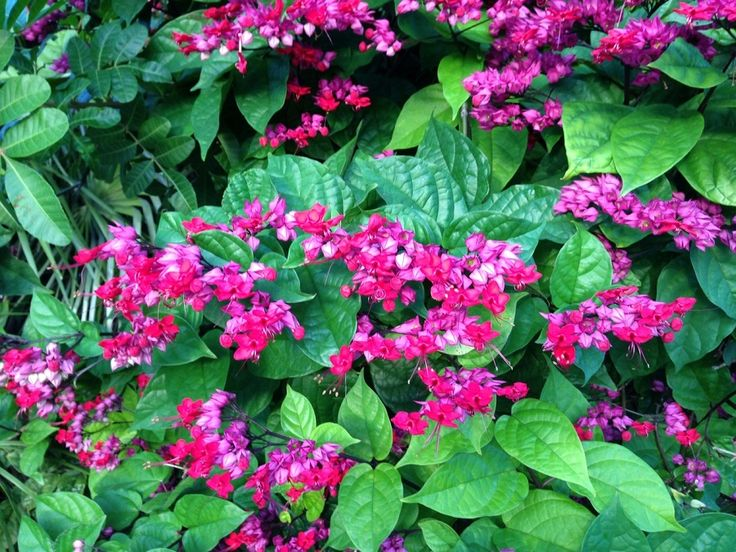 Bleeding Heart Vine Explodes With Color Key West