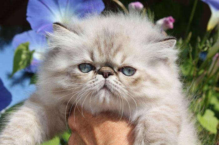 Himalayan Persian Cats | HIMALAYAN-PERSIAN KITTENS/ reg'd for sale in Oil Springs, Ontario ...