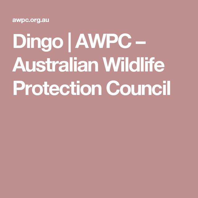 Dingo | AWPC – Australian Wildlife Protection Council