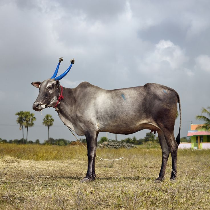 Mattu Pongal 10. Nedungavadi, Thandrampet, Tamil Nadu, India, 2014 | Daniel Naudé. Courtesy of Stevenson, Cape Town and Johannesburg.