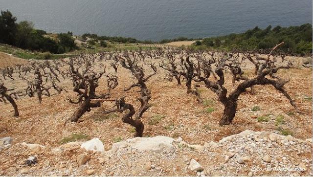 Dingac vineyard. Fabulous steep hills in the Peljesac peninsula in Dalmatia.