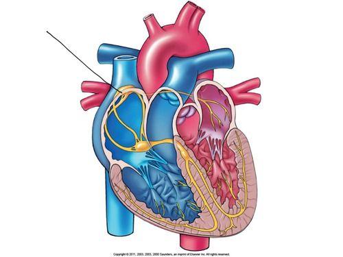 EKG Vocab Flashcards Quizlet Medicine Anatomy organs