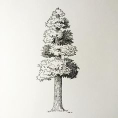 Giant sequoia sketch in pen and ink.  #1000perfectlines…