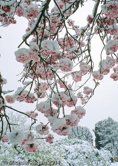 ❄️ Winter Pink ❄️ / snow blossoms
