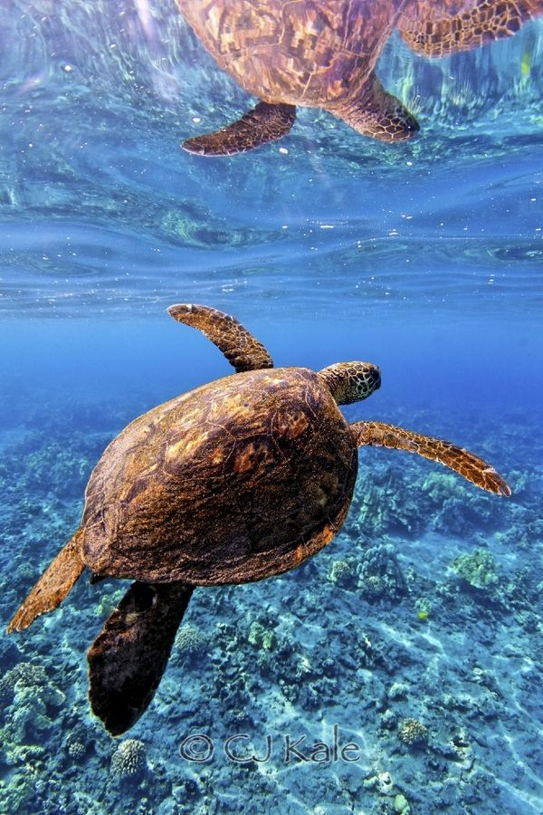 """500px / Foto """"Turtle no espelho"""" por CJ Kale, I swam with Sea Turtles once when we lived in Malaysia. The place was called Perhentian Island. Not sure of the spelling. Awesome!!"""