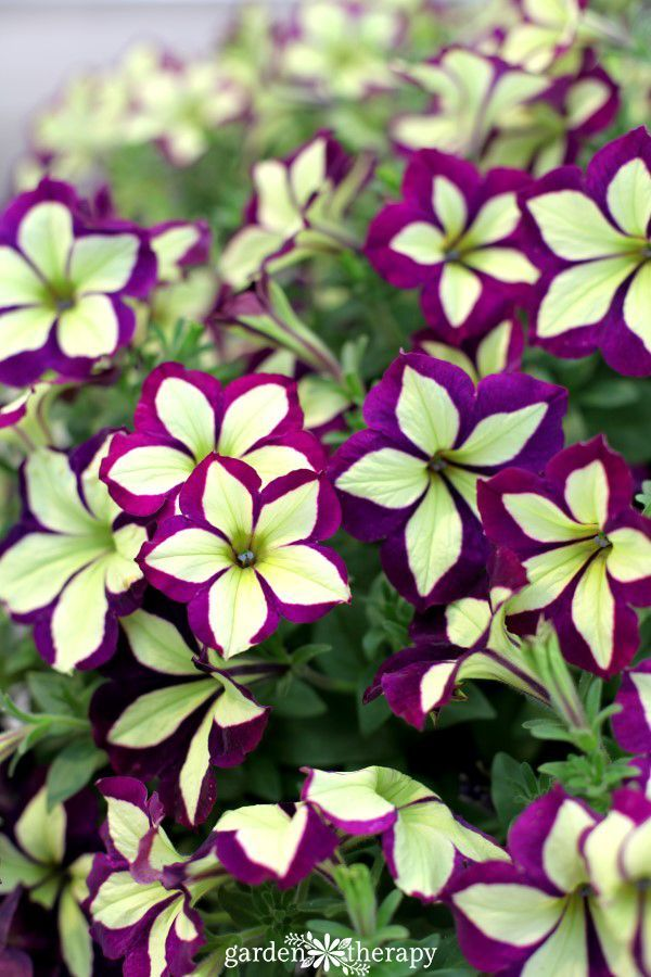 "Take a tour of some of the modern petunia varieties that have exceptional habit, form, water resistance, and, of course, cool new colors like this Crazytunia ""Frisky Purple"""