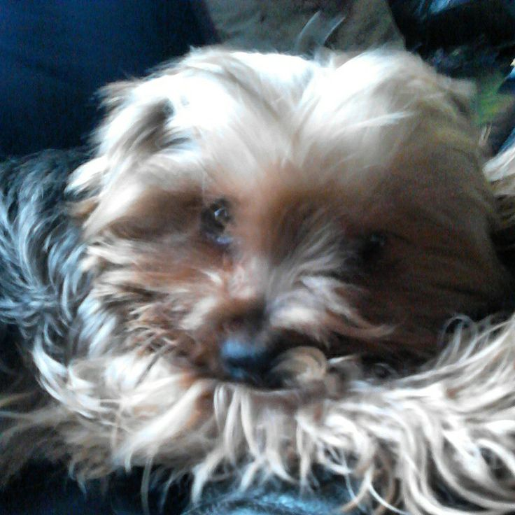 My Yorkie Max Feb 2015