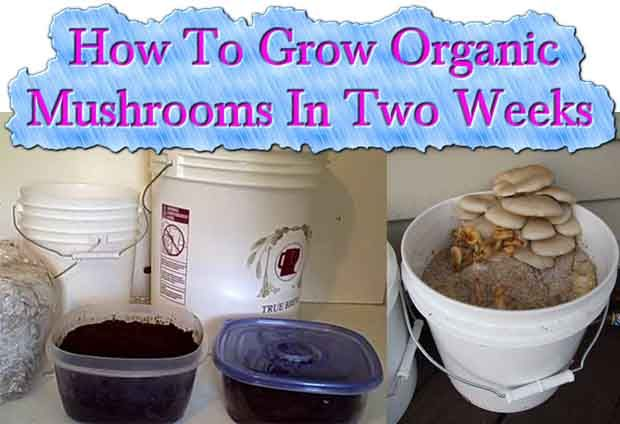 The Process for growing mushrooms is very easy. But it all depends on the type of mushroom you are thinking of growing.  With this tutorial it will show you a