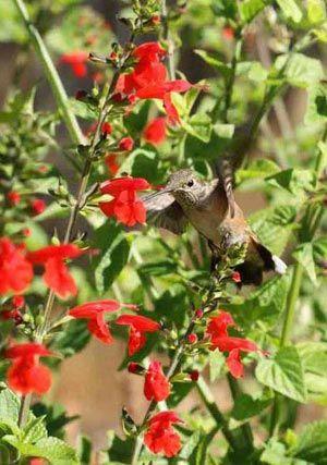 Hummingbird Mixture of wildflowers