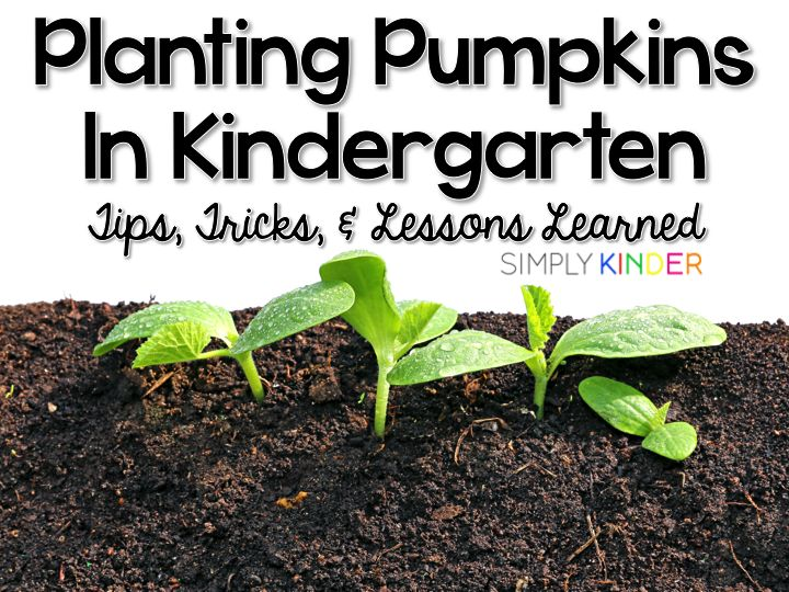 Planting Pumpkins in Kindergarten - Simply Kinder