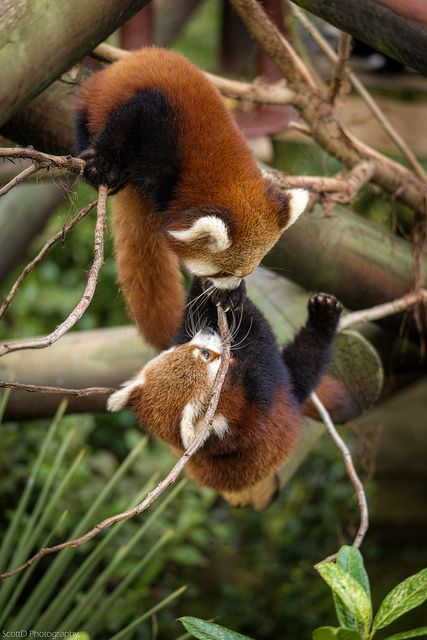Just hanging out?   Red pandas are arboreal. When they climb down trees, they go headfirst. The extra bone in their wrist is thought to be an evolutionary adaptation to make this easier. (ScottD Photography on Flickr)