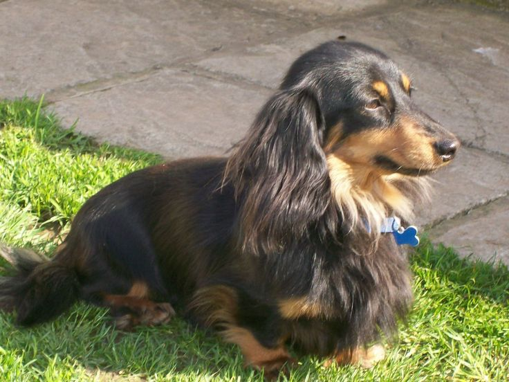 Best Dog Food For Senior Dachshunds