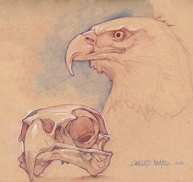 Bald Eagle Skull, Charles Hamel on ArtStation at https://www.artstation.com/artwork/lrmgV