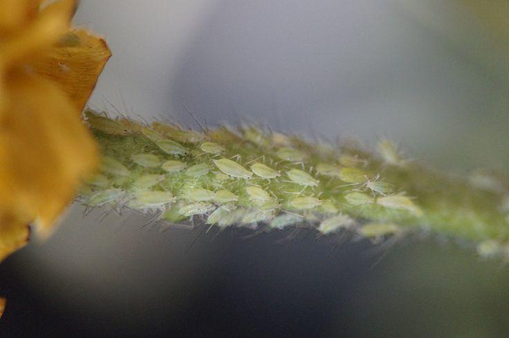 Tanti consigli utili per combatteri i nemici delle nostre piante. Antiparassitari naturali contro afidi, cocciniglie o bruchi.