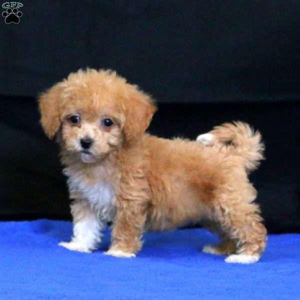 Sara Bich Poo Puppy For Sale In Pennsylvania Bich Poo Puppies Puppies For Sale