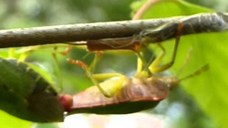 Green Shieldbugs Mating