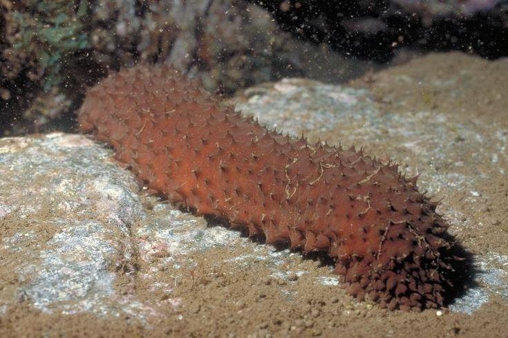 A tengeri uborkát több ezer éve használják a hagyományos kínai orvoslásban. Mostanra a nyugati ember számára is bebizonyosodott, hogy a tengeri uborka kivonata...