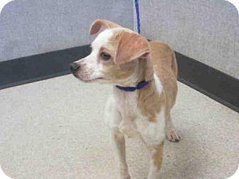 Orange, CA Chihuahua Mix. Meet LILLIAN, a dog for