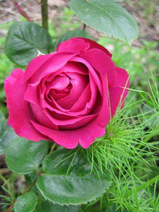 Shrub Rose: Rosa 'Chartreuse de Parme' (France, 1996)