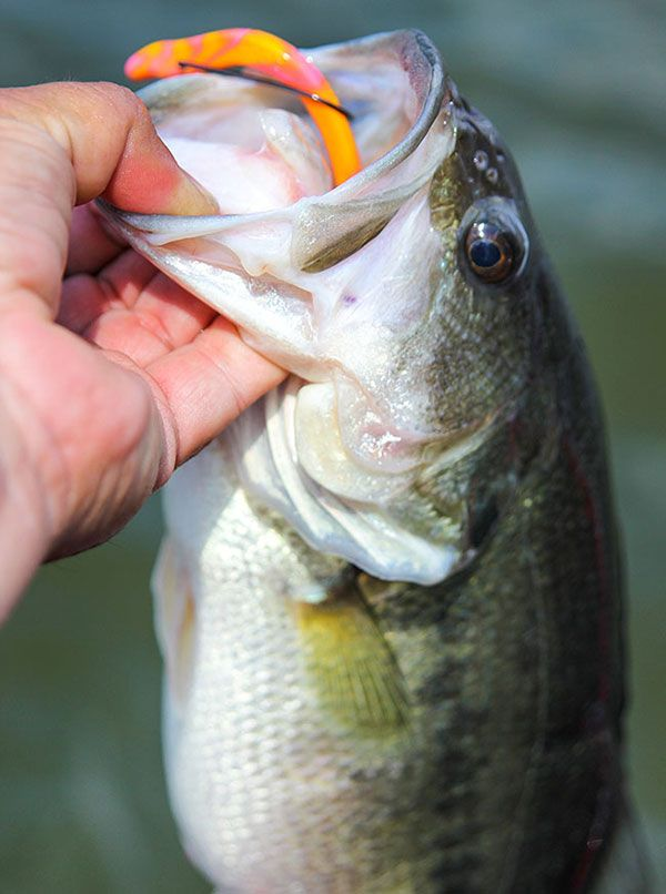 710 best images about fishing things on pinterest carp for Best worms for fishing