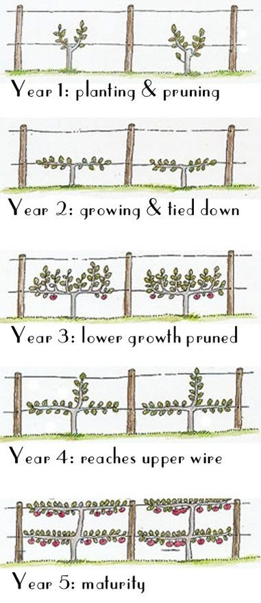 """Espalier time chart: Espalier is a French word that originally meant """"something to rest the shoulder against""""; but it now refers to the practice of training woody plants/trees in a shape that makes it easier to get to the fruit and saves much space in the garden."""