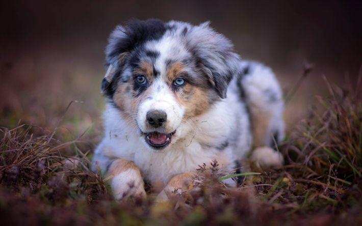 Lataa kuva Australian Paimenkoira, Aussie, heterochromia, pentu, pieni koira, söpöjä eläimiä