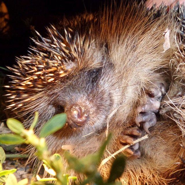 Incontri notturni... #cascinamartinadogliani #langhe #riccio #animali #instanature #igerspiemonte #tagsta_nature #hedgehog