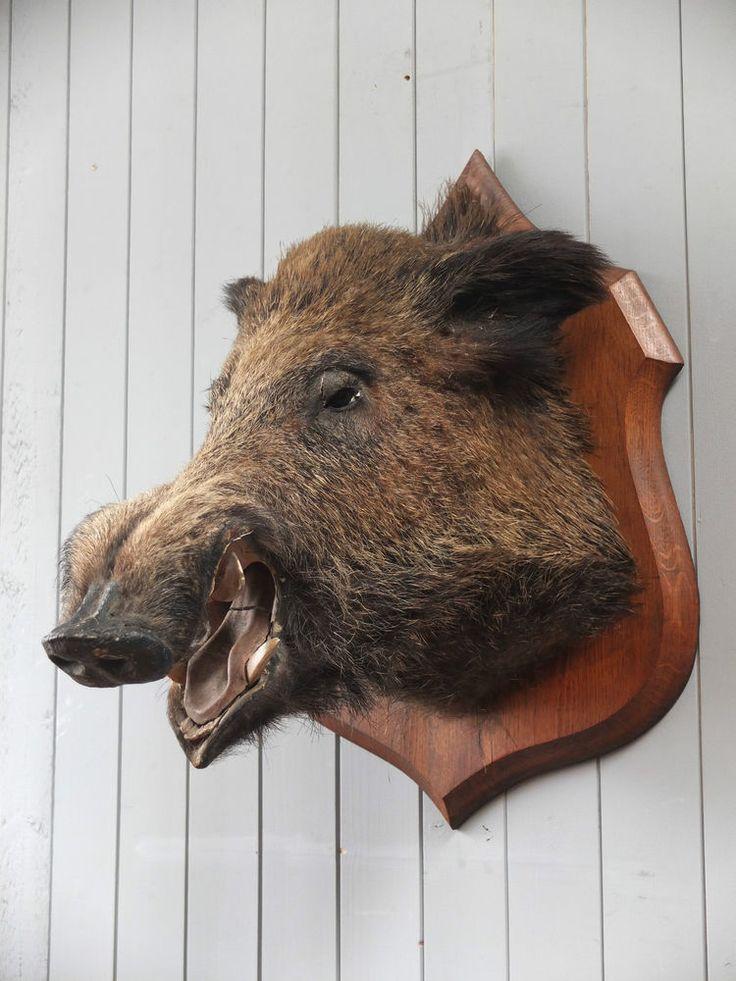 Antique French Wild Boar Head Taxidermy Shield Wall