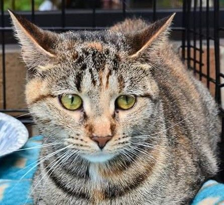 10/2017 SL 09/07/16-Ab Litter - Cas is a 2.5 yr. old female DSH who is available at Last Day Dog Rescue, Livonia,MI.