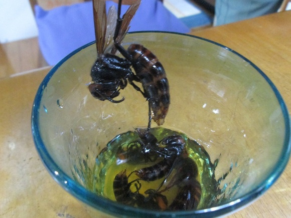 Japanese Vodka Made from Fermented Giant Hornets