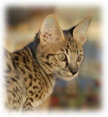 Strawbell Cats Uk