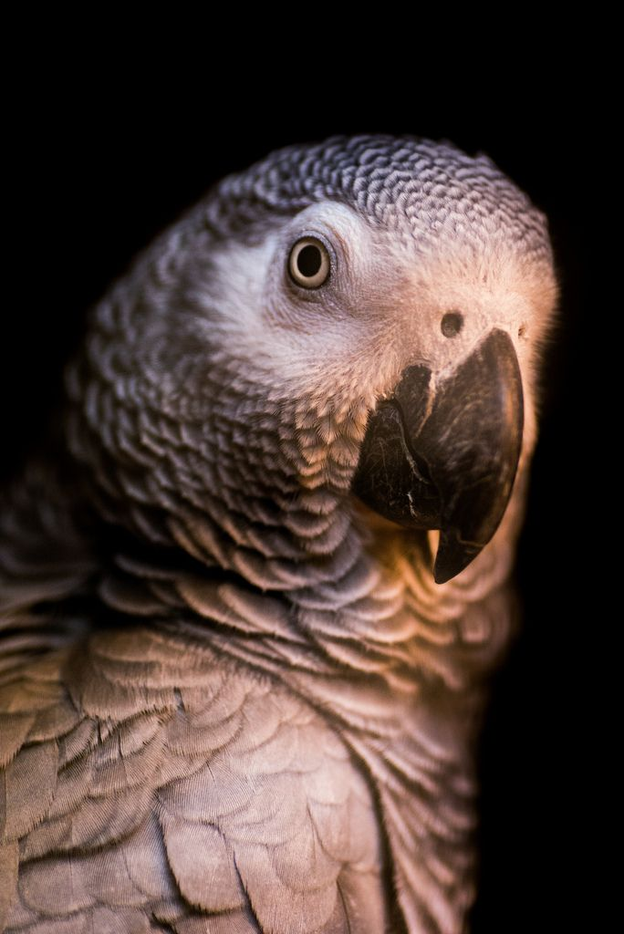"h4ilstorm: "" Grey Jaco Parrot (by Mikkel Elbech) """