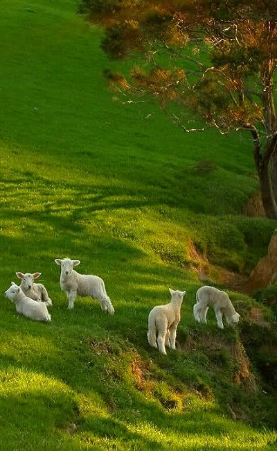 Spring Lambs on Spring Grass... Oh I wish I lived in New Zealand!