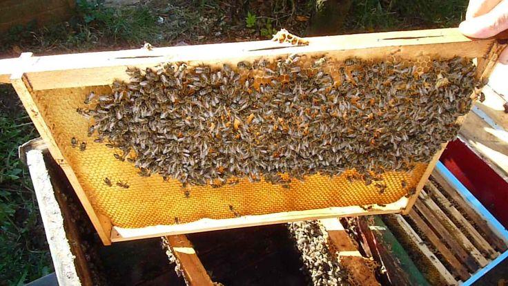 Moving the bees from one hive to another Transvazarea unei familii de albine dintr-un stup vechi intr-unul nou si primele etape in vederea pregatirii pentru iernat