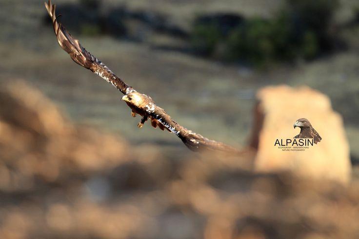 Alzando el vuelo entre las sierras de Adamuz.  ¡Vive la experiencia desde nuestros safaris y hides fotograficos!