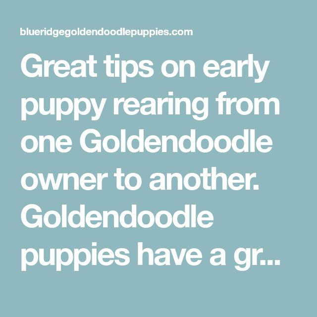 Great tips on early puppy rearing from one Goldendoodle owner to another. Goldendoodle puppies have a great temperament - but who couldn't use some advice