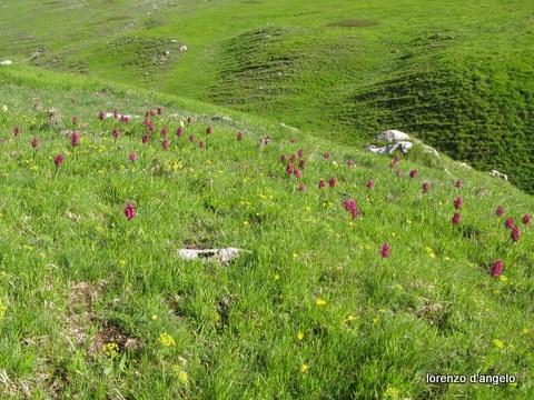 Orchidee selvatiche a Campo Imperatore a primavera.