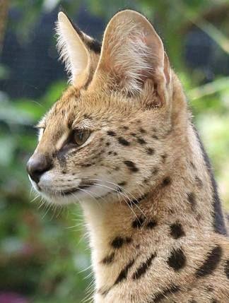 Stylisticat Serval Kitten @Stylisticat #stylisticat #f1savannahkitten #highpercentagesavannah #highpercentage #hpsavannahs #servalkitten #serval serval cat Get yours at stylisticat.com